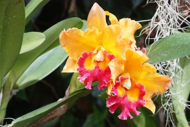 Oranges orchidées magnifiques dans le jardin