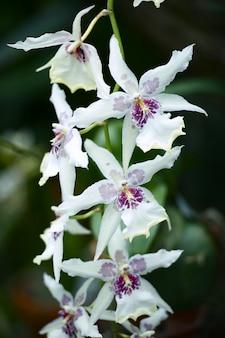 Orchidaceae fleurs