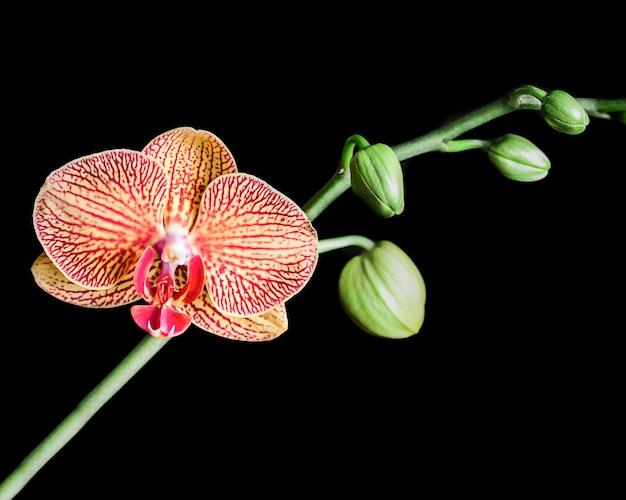 Orchidée blanche isolée sur fond noir