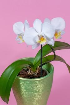 Orchidée blanche en pot sur un espace rose