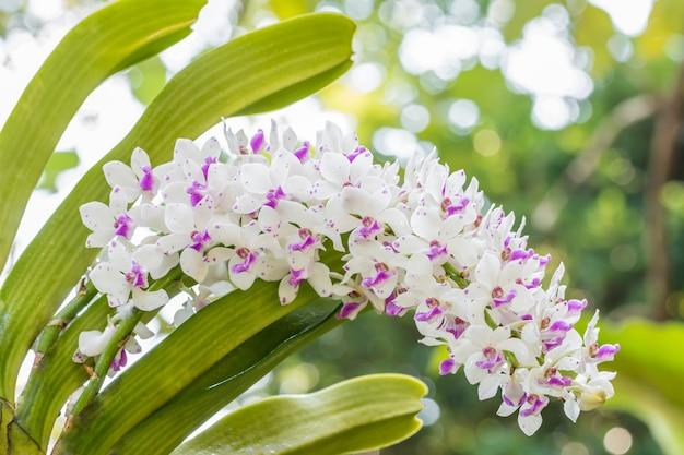 Orchidée blanche et violette, rhynchostylis gigantea.