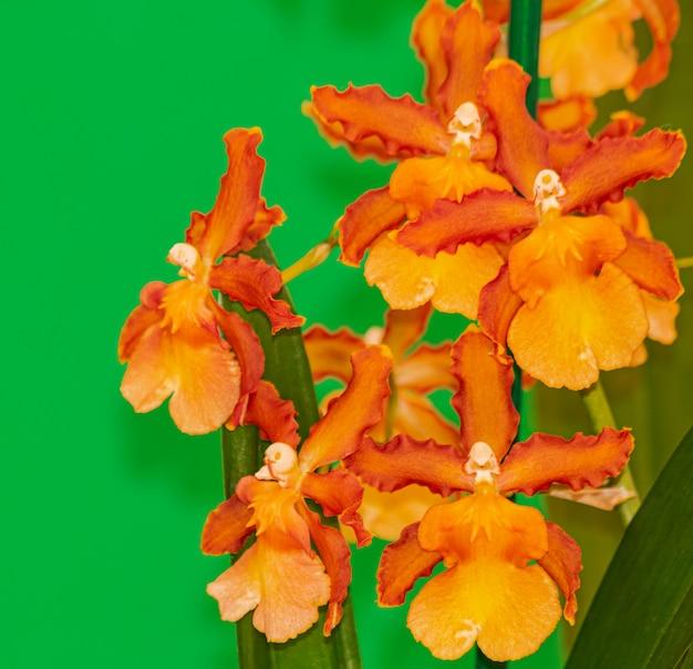 Orchidée cambria catatante orange, en fleurs