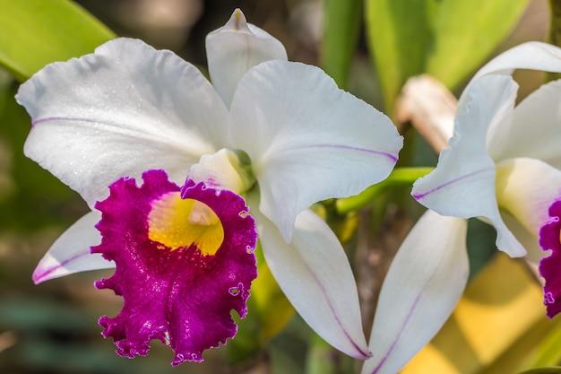 Orchidée cattleya blanche et violette.