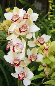 Orchidée, cymbidium