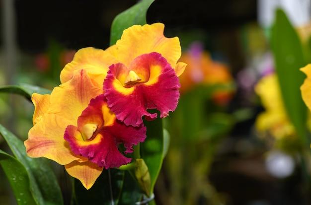 Orchidée fleur de cattleya orange et hybride rouge