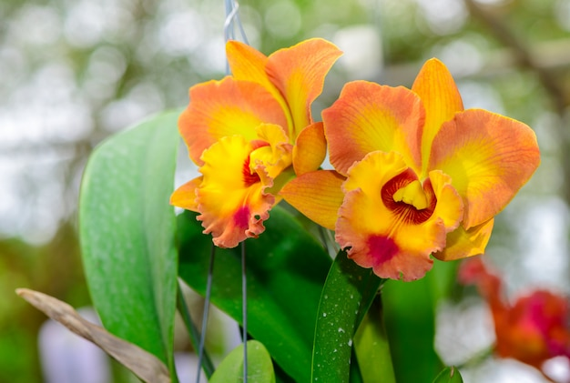 Orchidée à fleurs jaune cattleya