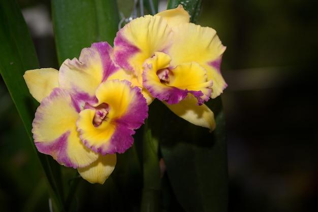 Orchidée à fleurs jaune et rose cattleya