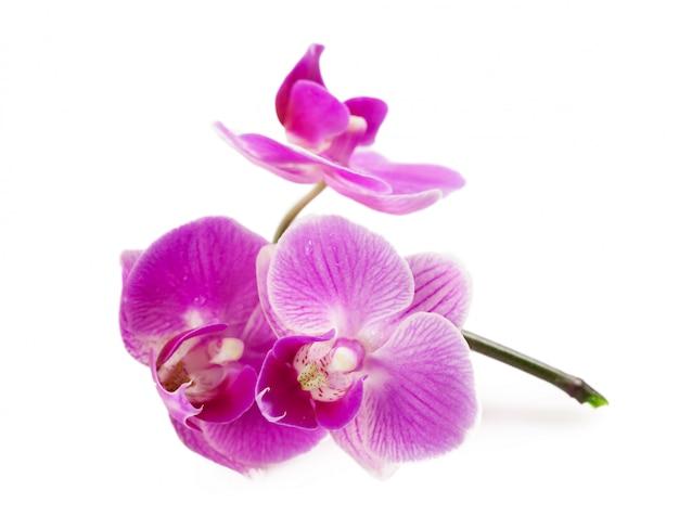 Orchidée isolée sur blanc