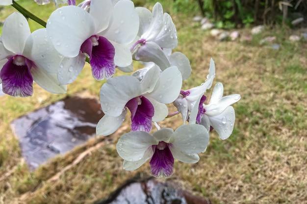 Orchidée phalaenopsis blanche de thaïlande les orchidées poussent bien depuis longtemps en thaïlande