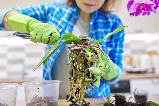 Orchidée phalaenopsis fleur en pot, femme plante de repiquage de soins