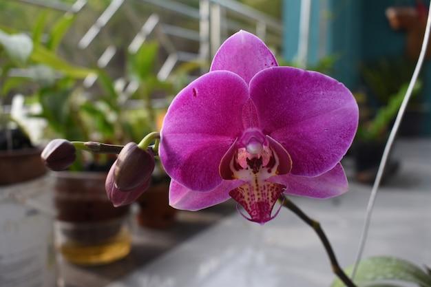 Orchidée phalaenopsis fleur pourpre communément appelée orchidée lune ou orchidée papillon orchidée papillon
