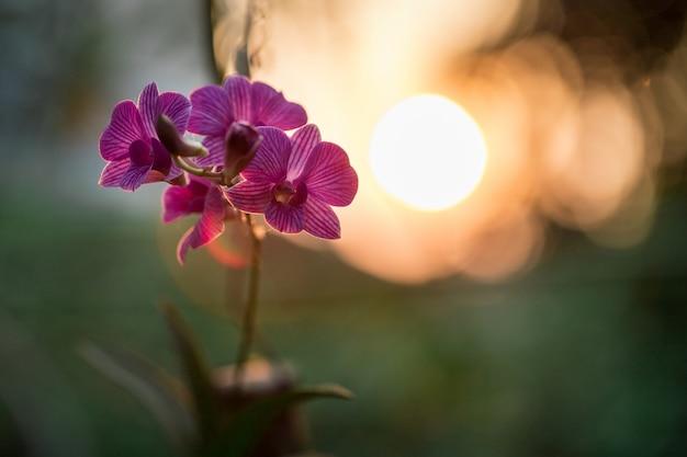 Orchidée pourpre devant le soleil
