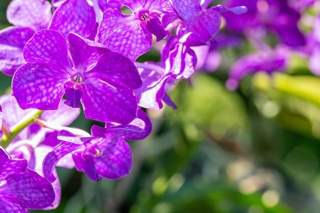 Orchidée pourpre, vanda.