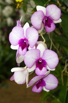 Orchidée rose dans le jardin d'orchidées de thaïlande