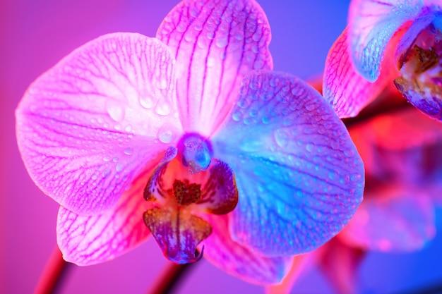 Orchidée rose délicate avec des gouttes de rosée gros plan sur fond bleu clair