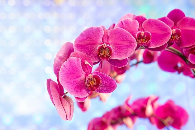Orchidée rose sur fond bleu