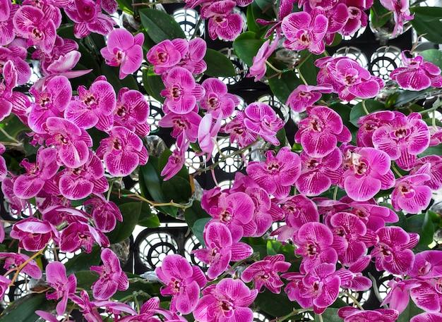 Orchidée rose fraîche dans la rangée de pots en plastique.
