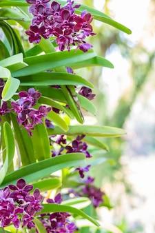 Orchidée rouge, rhynchostylis gigantea.