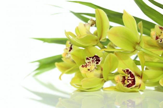 Orchidée verte sur fond blanc avec reflet