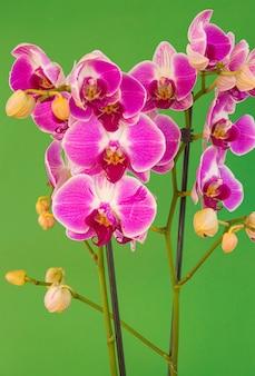 Orchidée violette et blanche phalaenopsis en fleurs