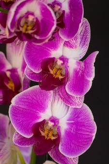 Orchidée violette et blanche phalaenopsis