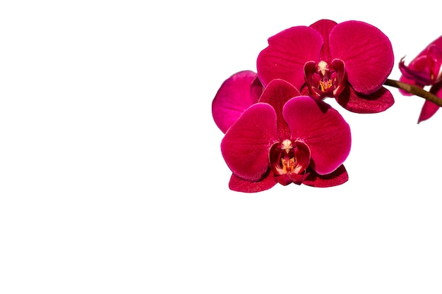 Orchidée violette brillante, isolée sur blanc. floriculture, loisirs, fleurs à la maison.