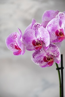 Orchidée violette sur fond de béton gris