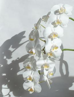 Orchidées blanches sur fond clair avec une ombre.