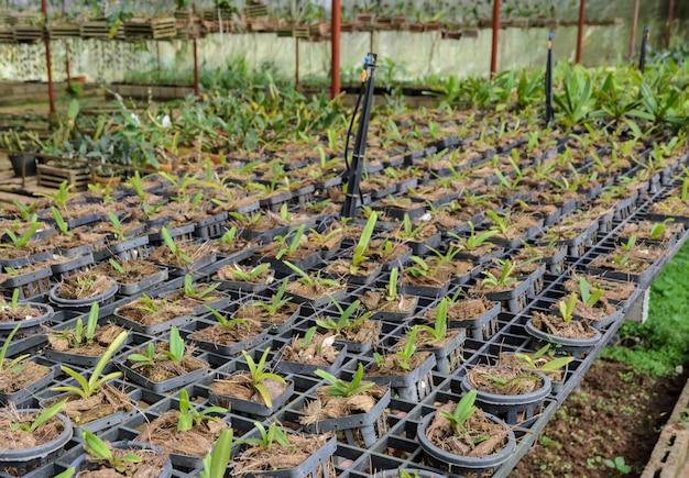 Orchidées dans une pépinière