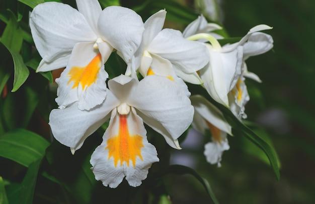 Orchidées hybrides à fleurs blanches et jaunes cattleya