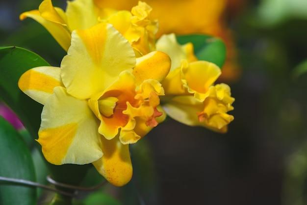 Orchidées hybrides de fleurs jaunes cattleya dans le jardin