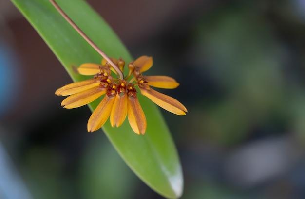 Orchidées. les orchidées jaunes sont considérées comme la reine des fleurs