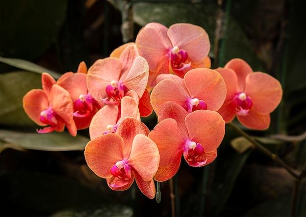 Orchidées phalaenopsis, belles orchidées fraîches roses qui fleurissent avec un arrière-plan flou