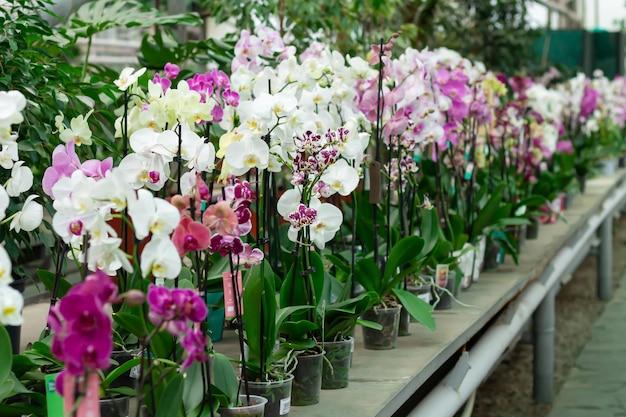 Orchidées en pot sur le comptoir en magasin. fleurs de phalaenopsis de différentes couleurs