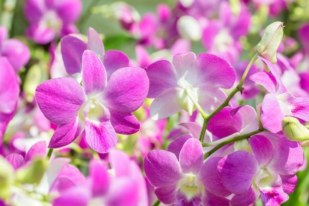 Orchidées pourpres, dendrobium, dans un style flou, point focal sélectif.