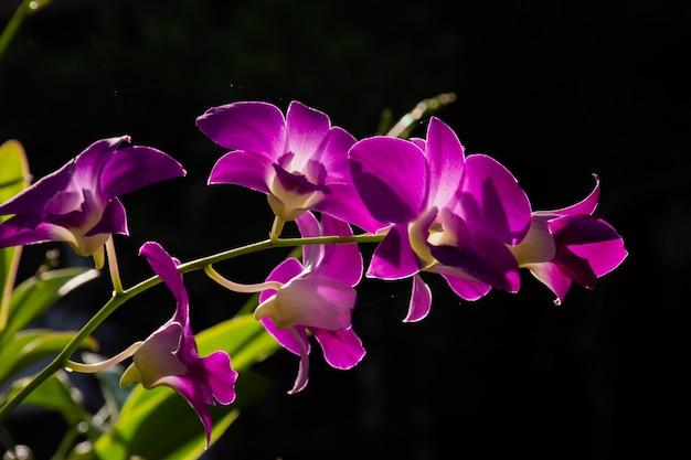 Orchidées purple blossom avec fond sombre