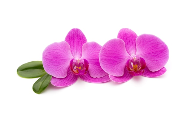 Orchidées roses sur le blanc.