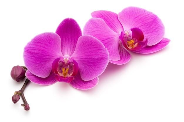 Orchidées roses sur la surface blanche.