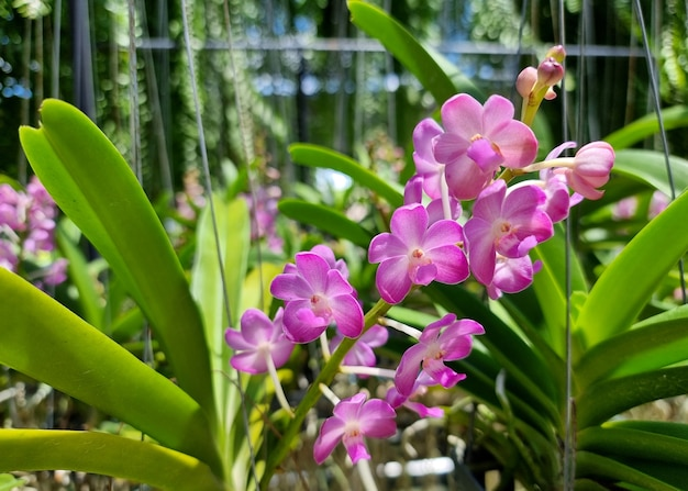 Orchidées vascostylis weerawan dans le jardin