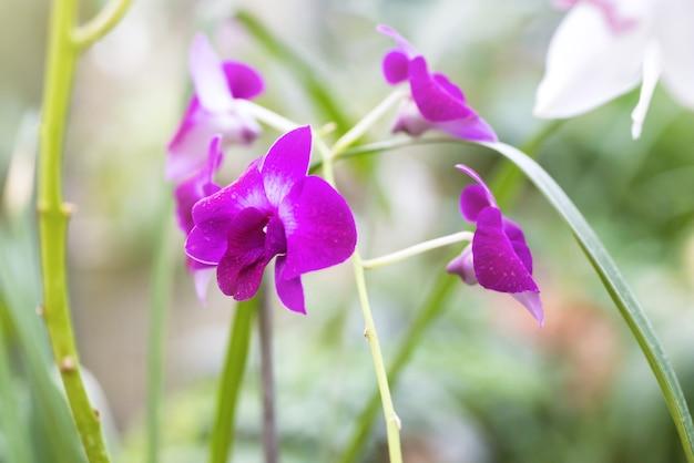 Orchidées violettes dans une forêt tropicale sauvage. belles fleurs de printemps avec fond vert tendre