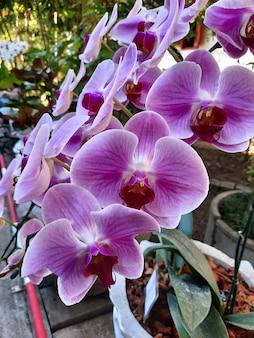 Orchidées violettes dans le jardin.