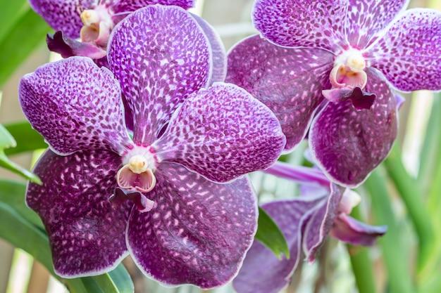 Orchidées violettes, vanda, fleurissant dans le jardin, parmi les feuilles vertes et autres arrière-plan flou de fleurs, dans un style flou doux, point de mise au point sélective.