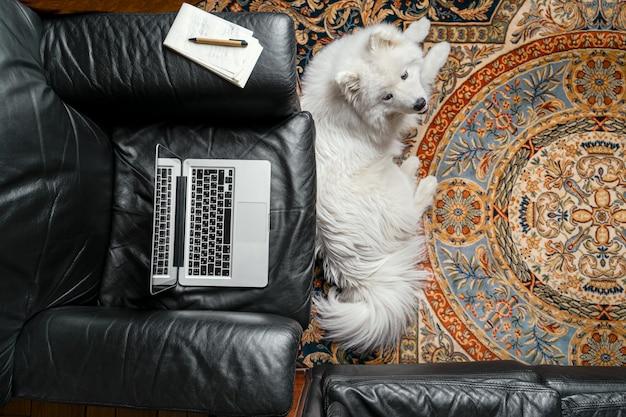 Ordinateur portable ouvert sur fauteuil en cuir noir, chien samoyède sur tapis. travail à domicile illustration