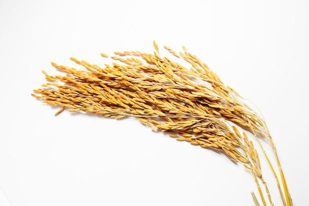 Oreille de riz paddy sur fond blanc.