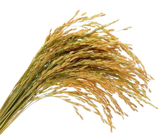 Oreille de riz paddy isolé sur fond blanc
