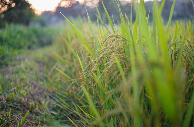 Oreille de riz en rizière ou rizière au crépuscule