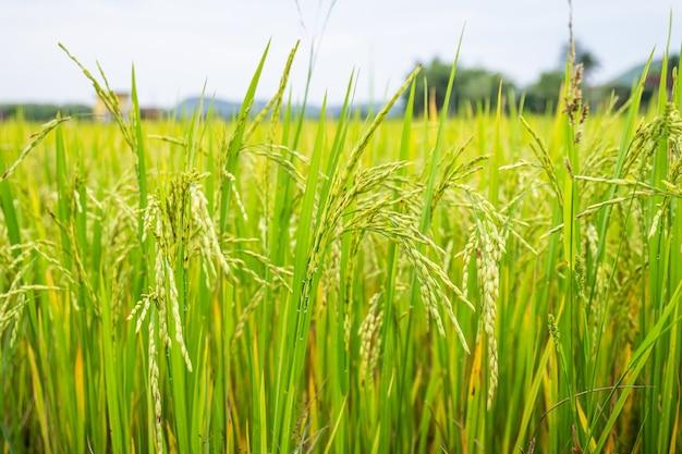 Oreille de riz rizière