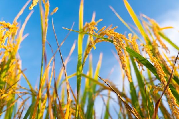 Oreille de riz sur le terrain. oreilles de riz dorées du point de vue des fourmis.