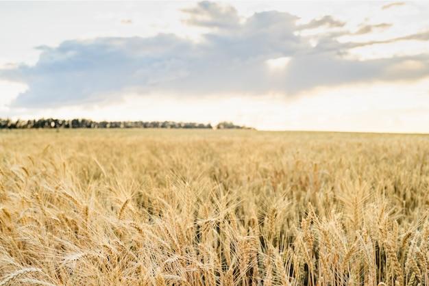 Oreilles de champ de blé golden wheat. récolte riche concept.
