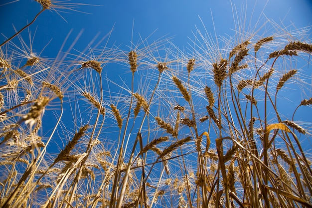 Oreilles dorées sur fond de ciel bleu, vue de dessous
